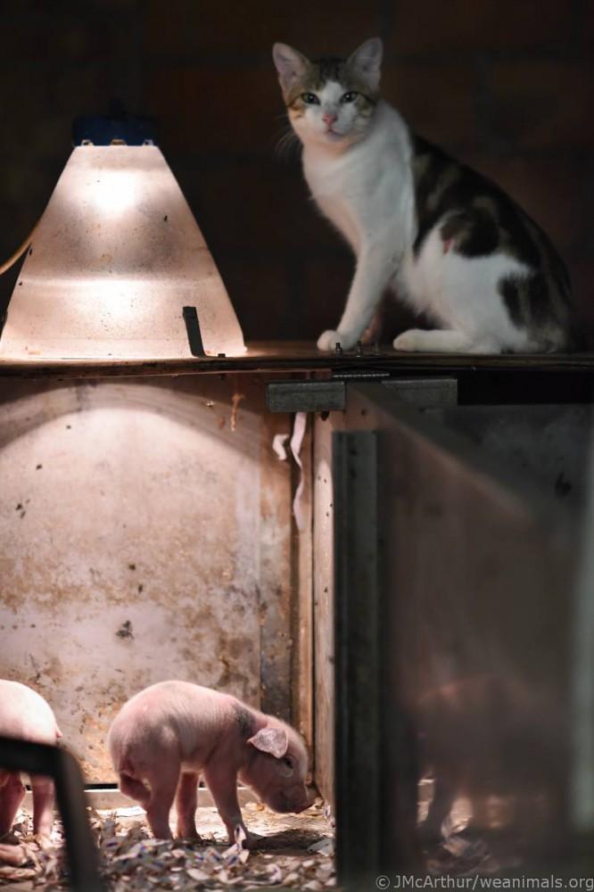 Eben kastriertes Ferkel (Foto: Jo-Anne McArthur, We Animals)