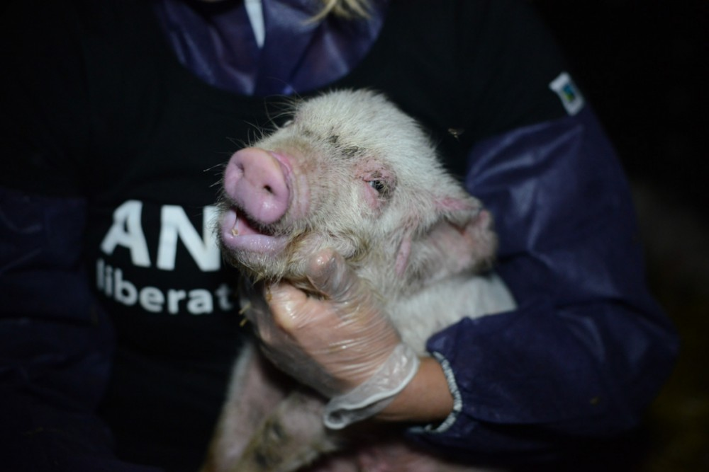 A very sick piglet is picked up, assessed and immediately given water.